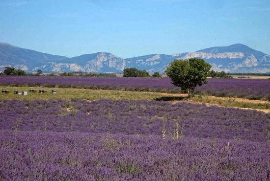 Ferienhaus in  Entrepierres, Provence-Côte d'Azur - Lavendelfelder