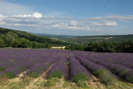 Location de vacances en Gargas, Provence-Côte d'Azur - Vachères - champ de lavande